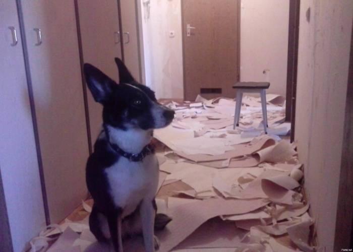 Собака готовит стены для новых обоев