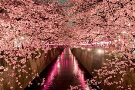 Сад из сакуры